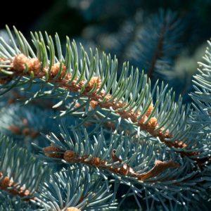 Colorado Blue Spruce (Picea pungens cv. Montgomery)
