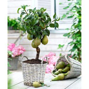 Sadnice voća i lozini cjepovi